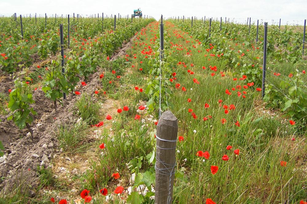 Vignes fleuries